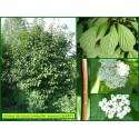 Cornouiller soyeux - Cornus sericea - 687