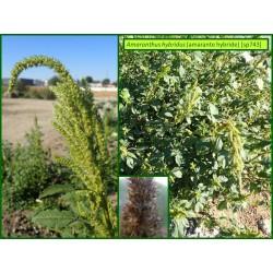 Amaranthe hybride - Amaranthus hybridus - 743