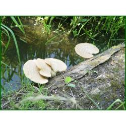 Polypore écailleux - Polyporus squamosus - 5008