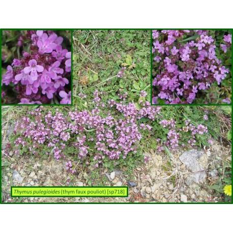 Thym faux pouilot - Thymus pulegiodes - 718