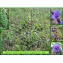 Pulmonaire à longues feuilles - Pulmonaria longifolia - 671