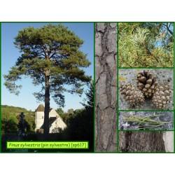 Pin sylvestre - Pinus sylvestris - 617