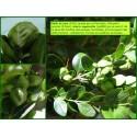 Galle du buis - Aceria unguiculata - 684