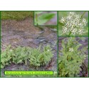 Petite berle dressée - Berula erecta - 552