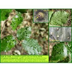 Galle de l'orme - Aceria brevipunctata - 618