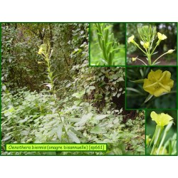 Onagre bisannuelle - Oenothera biennis - 661