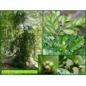 Buis - Buxus sempervirens - 634