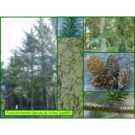 Épicéa de Sitka - Picea sitchensis - 685