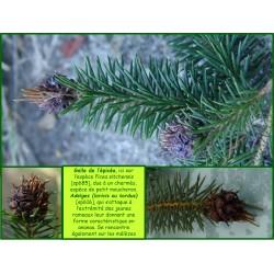 Galle de l'Épicéa - Adelges viridis - 616