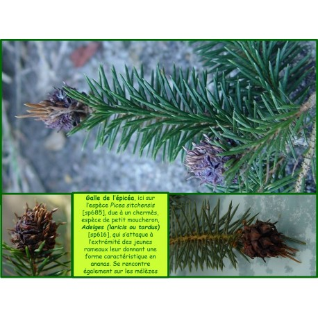 Galle de l'épicéa - Sacciphantes viridis - 616