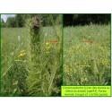 Cirse des marais - Cirsium palustre - 643