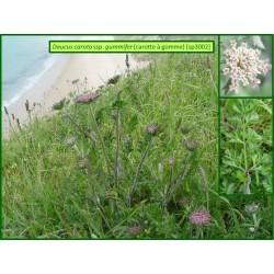 Carotte à gomme - Daucus carotta ssp. gummifer - 3002