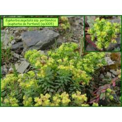 Euphorbe de Portland - Euphorbia segetalis ssp. portlandica - 3005