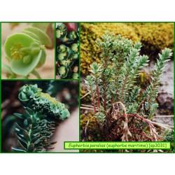 Euphorbe maritime - Euphorbia paralias - 3031