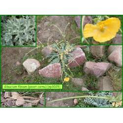 Glaucienne jaune, pavot cornu - Glaucium flavum - 3025