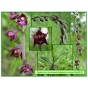 Épipactis rouge sombre - Epipactis atrorubens - 363