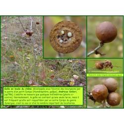 Galle en boule du chêne - Andricus kollari - 786