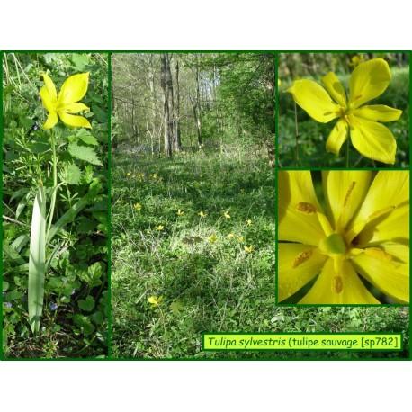 Tulipe sauvage - Tulipa sylvestris - 782