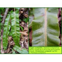 Mineuse du scolopendre - Chromatomyia scolopendri - 780