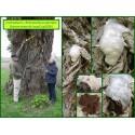 Fausse vesse de loup - Enterydium lycoperdon - 5026