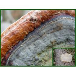Polypore marginé - Fomitopsis pinicola - 5007