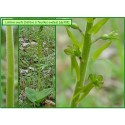 Listère à feuilles ovales - Listera ovata - 318
