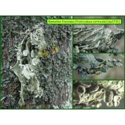Ramalina fraxinea - fruticuleux corticole - 1731