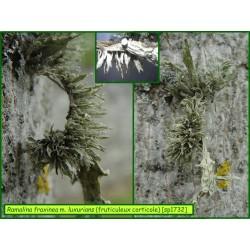 Ramalina fraxinea morpho. luxurians - fruticuleux corticole - 1732