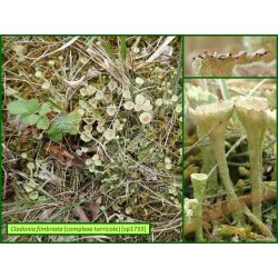 Cladonia fimbriata - 1733
