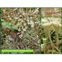 Cladonie - Cladonia fimbriata - 1733