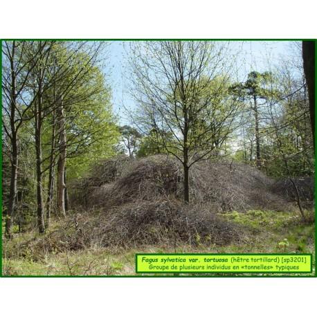 hêtre tortillard - Fagus sylvatica var. tortuosa - 3201