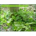 Maïanthème à deux feuilles - Maianthemum bifolium - 3202