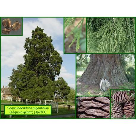Séquoia géant - Sequoiadendron giganteum  - 783