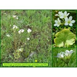 Saxifrage granulée - Saxifraga granulata - 788