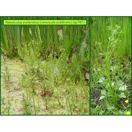 Renoncule scélérate - Ranunculus sceleratus - 787