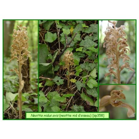 Néottie nid d'oiseau - Neottia nidus avis - 358