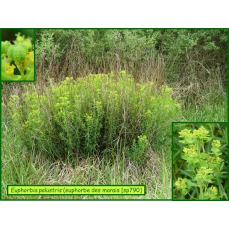Euphorbe des marais - Euphorbia palustris - 790