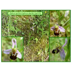 Ophrys abeille - Ophrys apifera - 335