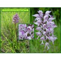 Orchis singe - Orchis simia - 791