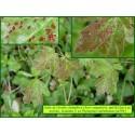 Galle de l'érable champêtre - Aculodes cephaloneus - 792