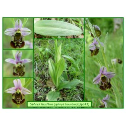 Ophrys bourdon - Ophrys fuciflora - 343