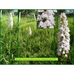 Orchis tacheté - Dactylorhiza maculata - 3203