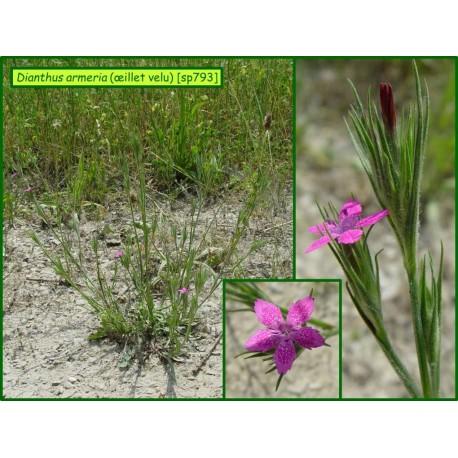 Oeillet velu - Dianthus armeria - 793