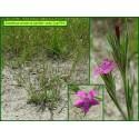 Œillet velu - Dianthus armeria - 793