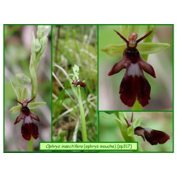 Ophrys mouche - Ophrys insectifera - 317
