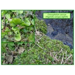 Fégatelle cônique - Conocephalum conicum - 519