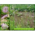 Trèfle renversé - Trifolium resupinatum - 795