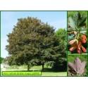 Érable rouge - Acer rubrum - 808