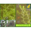 Utriculaire commune/citrine - Utricularia gr. vulgaris/australis - 807