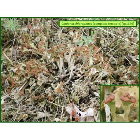 Cladonia chlorophaea - 1649